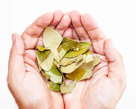 Close Up on Mans Hands Holding Coca Plant Leafs in Studio Enviroment - Stock Photo