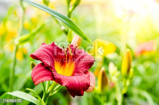 Close up on red and yellow daylily during summer day.