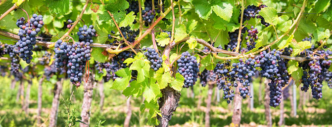istock Close up on red black grapes in a vineyard, panoramic background, grape harvest concept 840830354