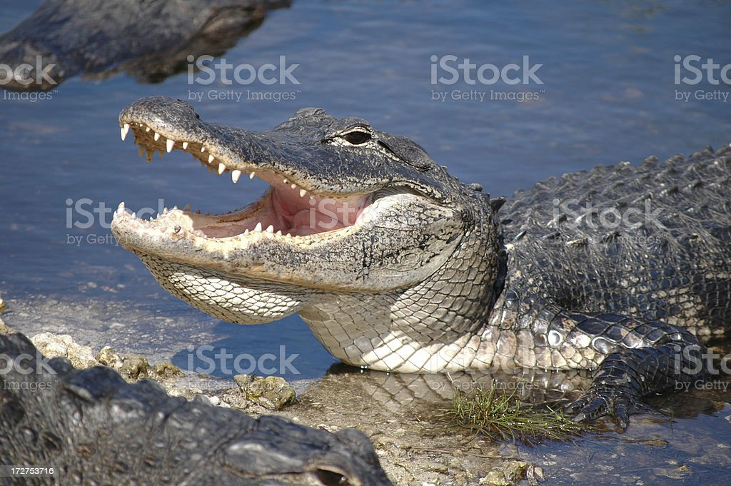 Close up on the alligator getting out of the water stock photo