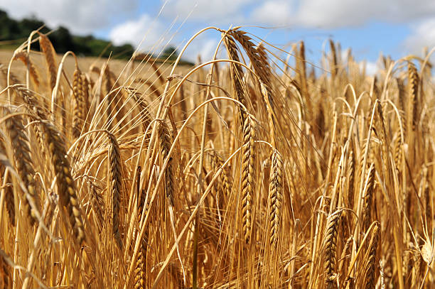 Close up on the crop of barley in a field stock photo