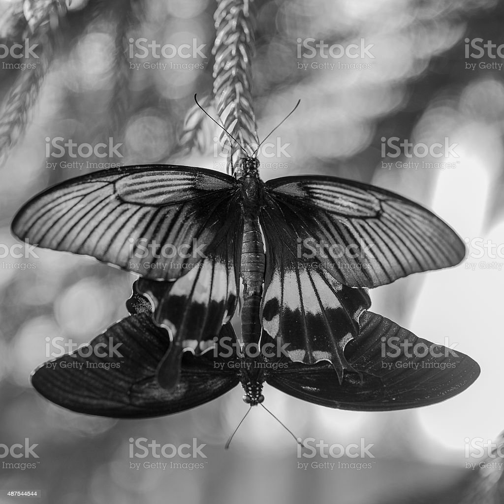 Close up on two butterflies reproducing in black and white stock photo more pictures of 2015