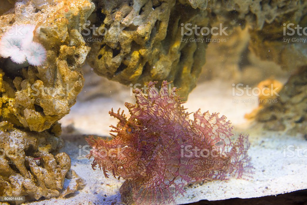 close up on Weedy scorpionfish (Rhinopias frondosa) stock photo