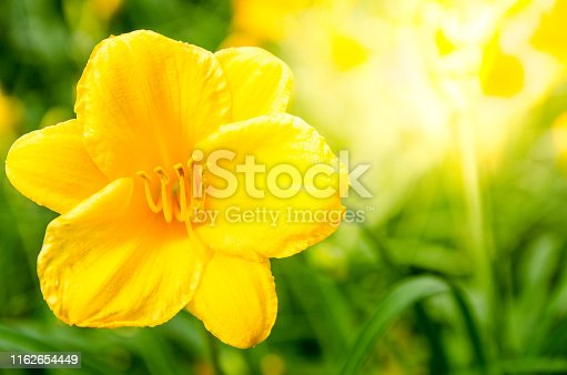 Close up on yellow daylily during summer day.