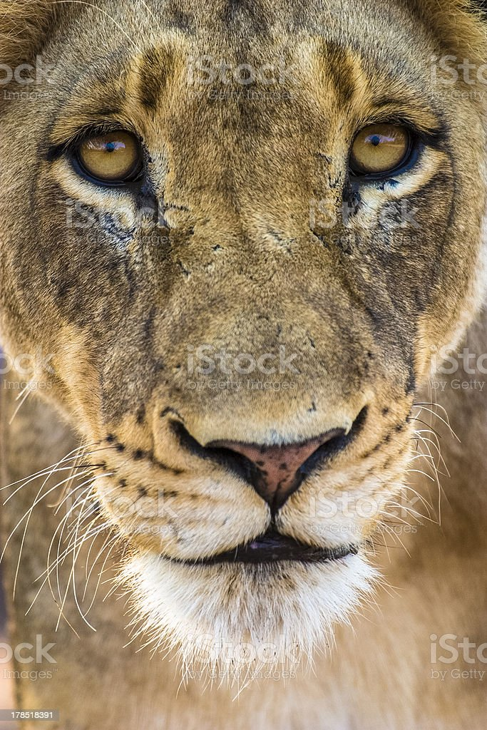 Close up on young male lion stock photo