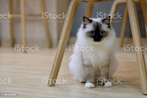 Close up one black white ragdoll cat standing under wooden chair at picture id1191416181?b=1&k=6&m=1191416181&s=612x612&h=w2cklbym afsswru0nqoy3k1g flsqfjtlpyehfwfmg=