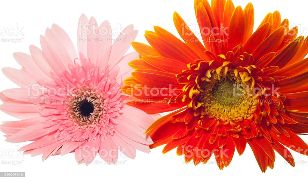 Close up Orange and pink Gerbera on white background royalty-free stock photo