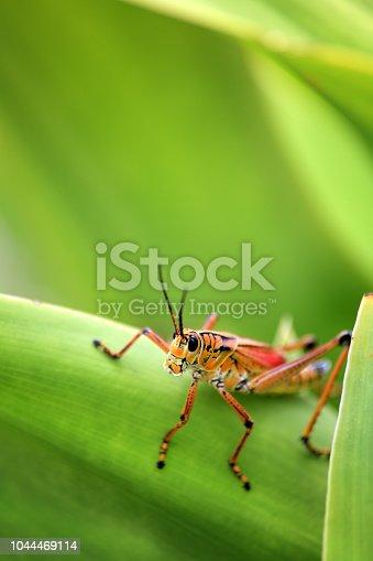 Close up shot of orange grasshoppers on green leaf in Sarasota, Florida