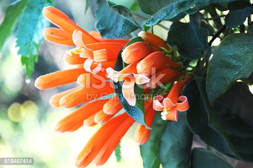 close up orange Coral Plant ,Fountain Plantt
