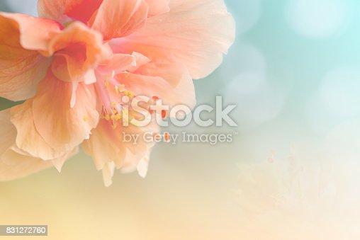 Close up Orange Hibiscus Flower in soft focus.
