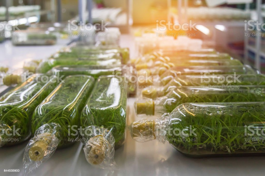 Close up orchid plants tissue culture botanic nursery growing in bottle  at laboratory stock photo