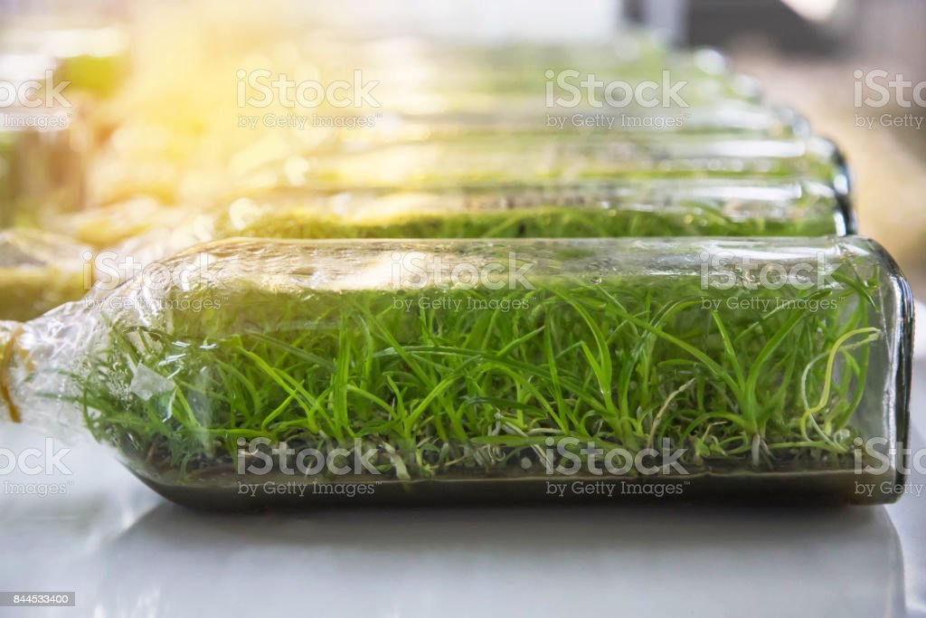 Close up orchid plants tissue culture botanic nursery growing in bottle on shelf stock photo