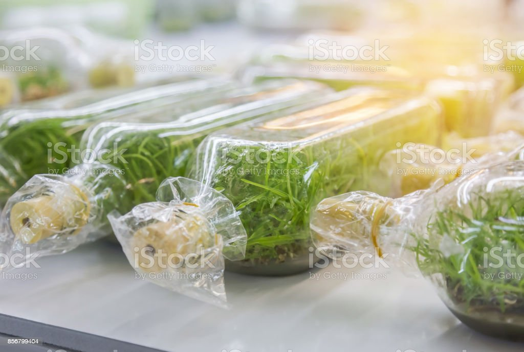 Close up orchid plants tissue culture botanic nursery growing in bottle stock photo
