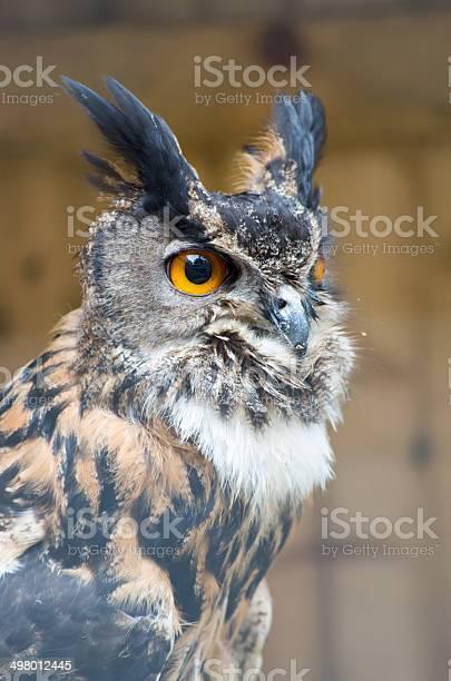 Close up owl picture id498012445?b=1&k=6&m=498012445&s=612x612&h=qhfoaff9clsu90fjtexampq6k6wfba cz5znxzv m64=