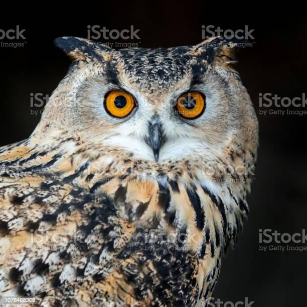 Close up owl portrait picture id1076468308?b=1&k=6&m=1076468308&s=612x612&h=kmgbleomhgcapxnmpmtndccjouuqxccunzir0asftuq=