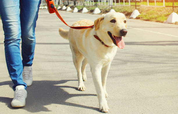 Close up owner and labrador retriever dog walking together in the city stock photo