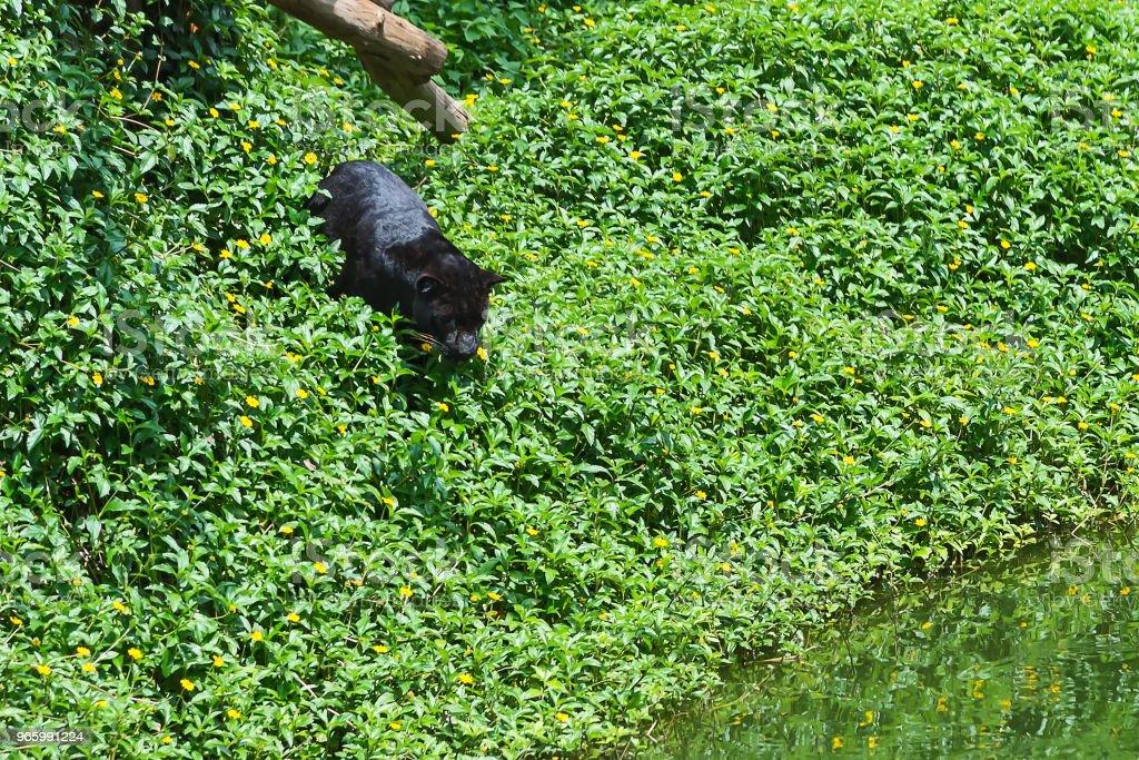 Närbild av panther. - Royaltyfri Afrika Bildbanksbilder