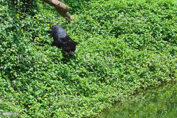 Närbild Av Panther-foton och fler bilder på Afrika
