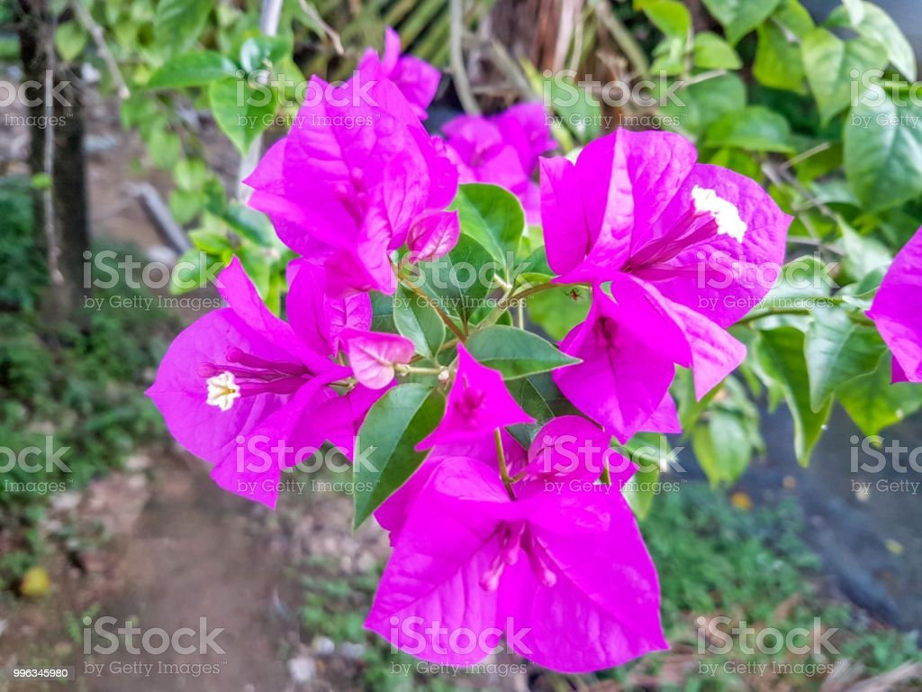 Close Up Paper Flower Or Bougainvillea Stock Photo More Pictures