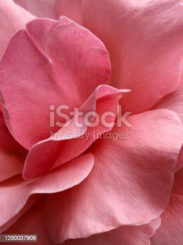 Close up pastel pink rose petal