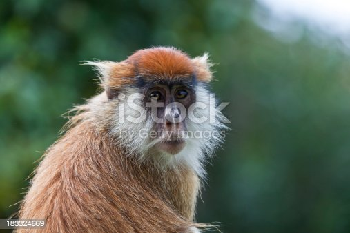 A Patas monkey is seen looking at the camera in this close up taken near Mt Kenya.