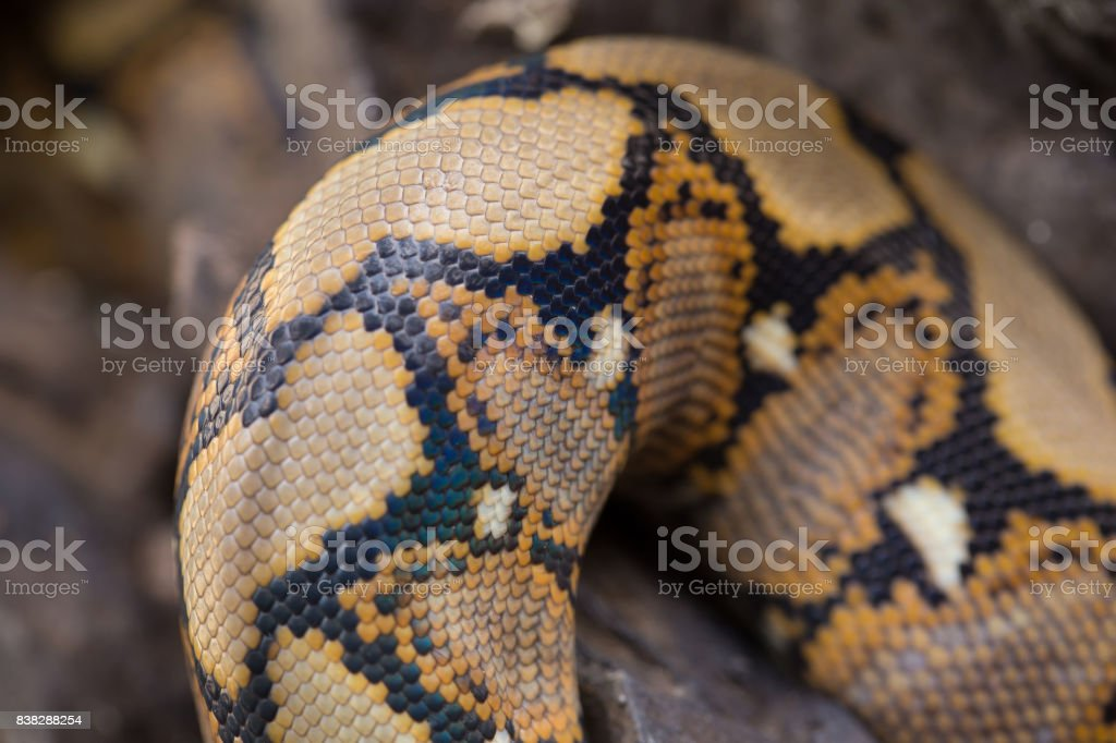 close up Pattern Boa Snake skin abstract textured stock photo