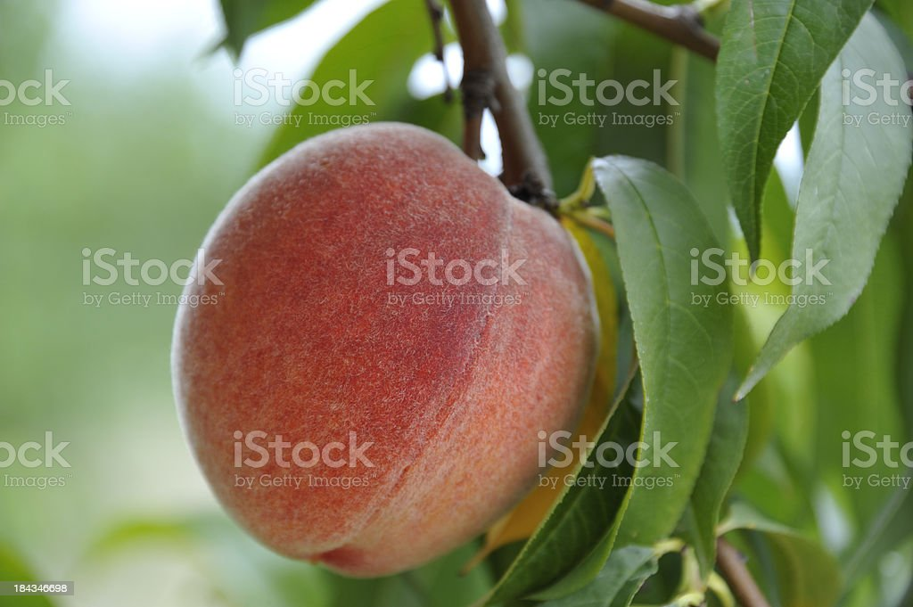Close up Peach on Branch Shallow Depth of Field royalty-free stock photo
