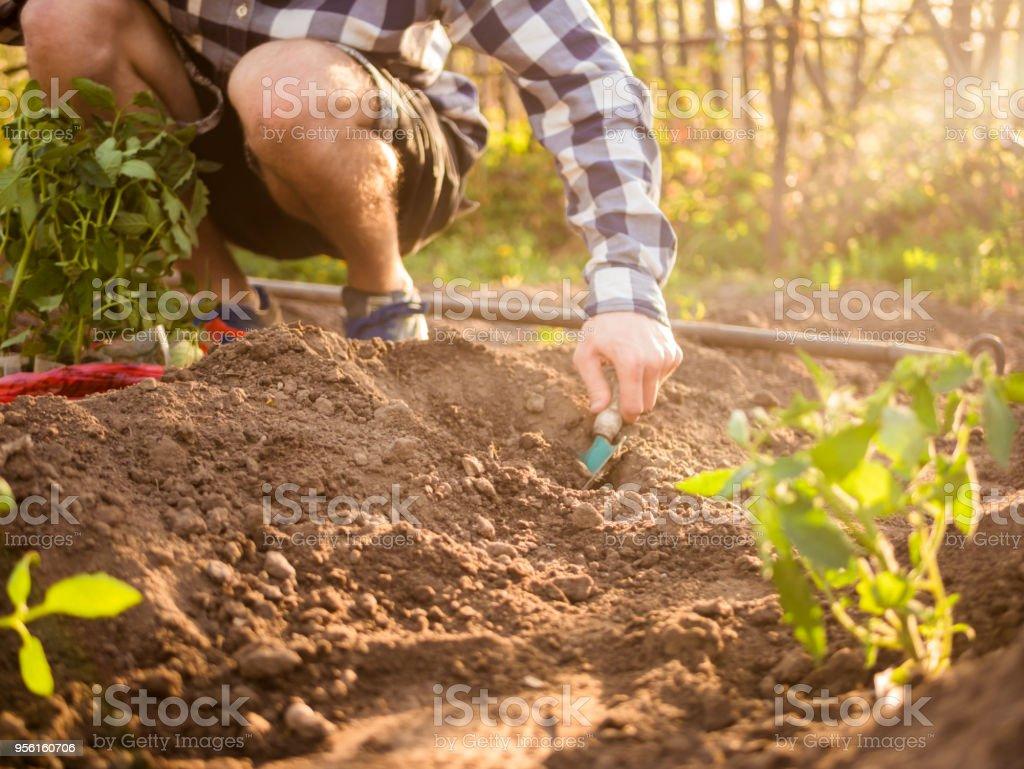 Person mit Schaufel Tomaten im Garten Pflanzen hautnah – Foto