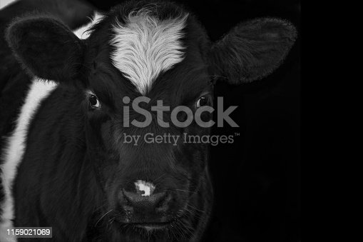istock A close up photo of a black and white cow 1159021069