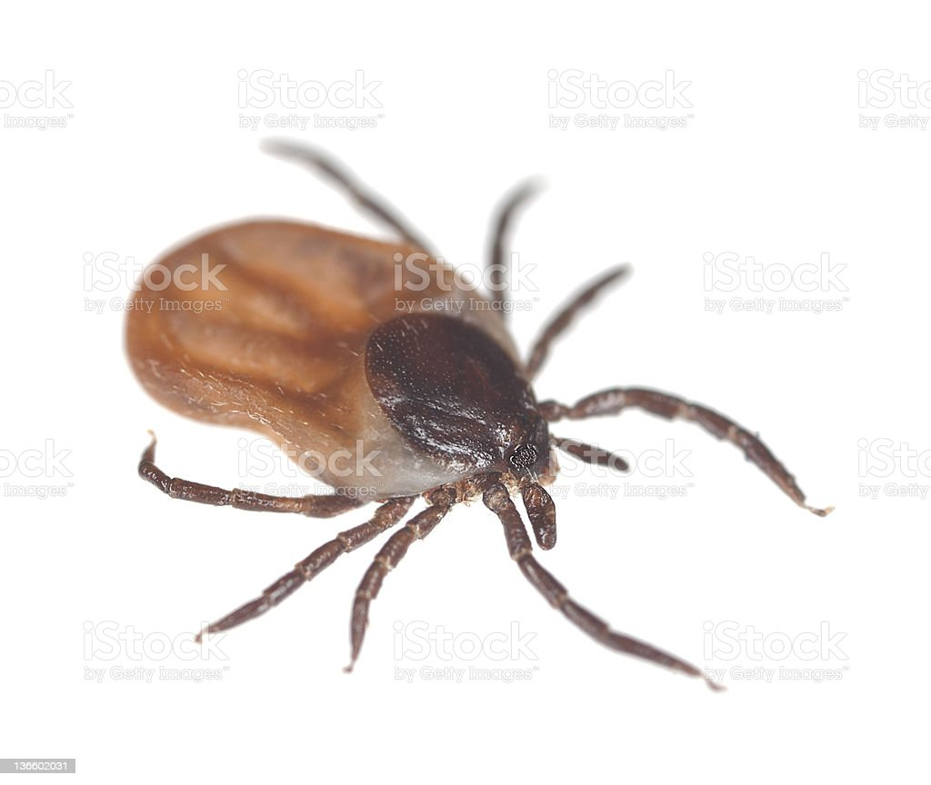 Close up photo of a brown tick on white background stock photo