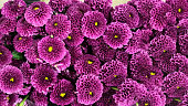 Banner. A close up photo of a bunch of dark pink chrysanthemum flowers with yellow centers and white tips on their petals. Chrysanthemum pattern in flowers park. Cluster of pink purple chrysanthemum flowers.