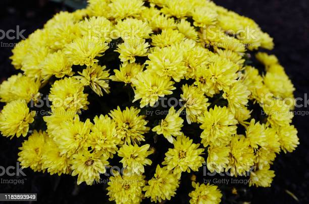 Close up photo of a bunch of yellow chrysanthemum flowers with dark picture id1183893949?b=1&k=6&m=1183893949&s=612x612&h=ocbwhauw1g7gx9bm1brdsi fcw5tzz2srqbx fnco7s=