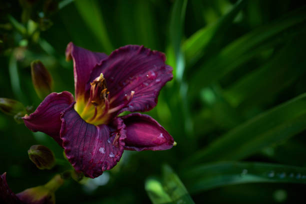Best Dark Purple Lilies Pictures Stock Photos Pictures Royalty