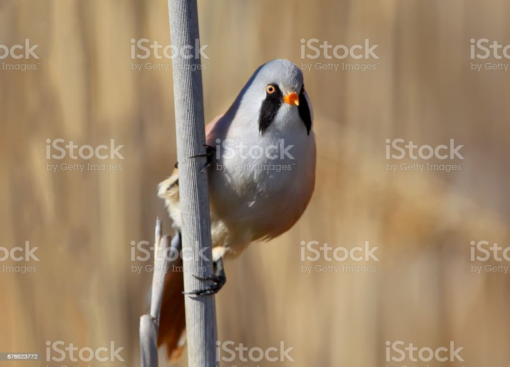 Close up photo of a male bearded tit in vertical orientation. stock photo