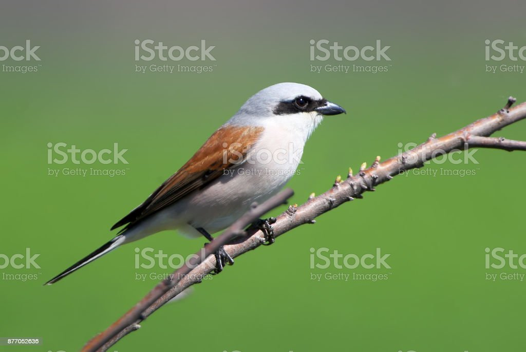 Close up photo of a male red backed shrike isolated on blurred green background stock photo
