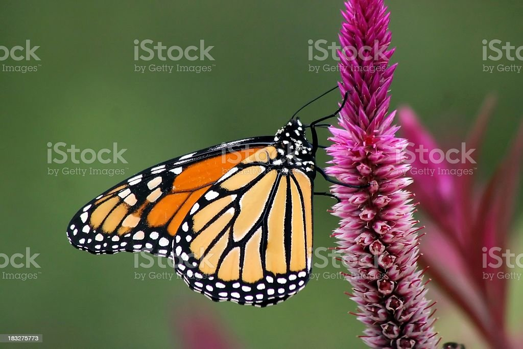 Close up photo of a Monarch butterfly, perched on a flower stock photo