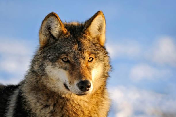 close up photo of a wolf (canis lupus) - lobo cinzento imagens e fotografias de stock