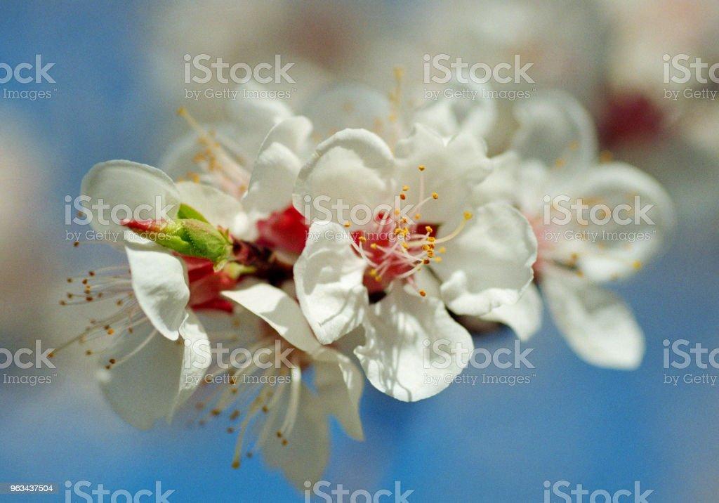 Zbliżenie zdjęcie kwiatu drzewa morelowego. Nakręcony na filmie - Zbiór zdjęć royalty-free (Bez ludzi)