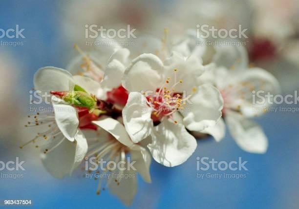 Zbliżenie Zdjęcie Kwiatu Drzewa Morelowego Nakręcony Na Filmie - zdjęcia stockowe i więcej obrazów Bez ludzi