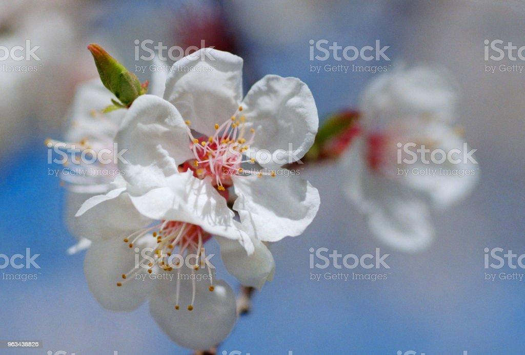 Närbild foto av aprikosträd blomma. Sköt på film - Royaltyfri Aprikos Bildbanksbilder