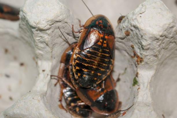 close up photo of dubia roach in egg carton. Scientific name: Blaptica dubia, stock photo