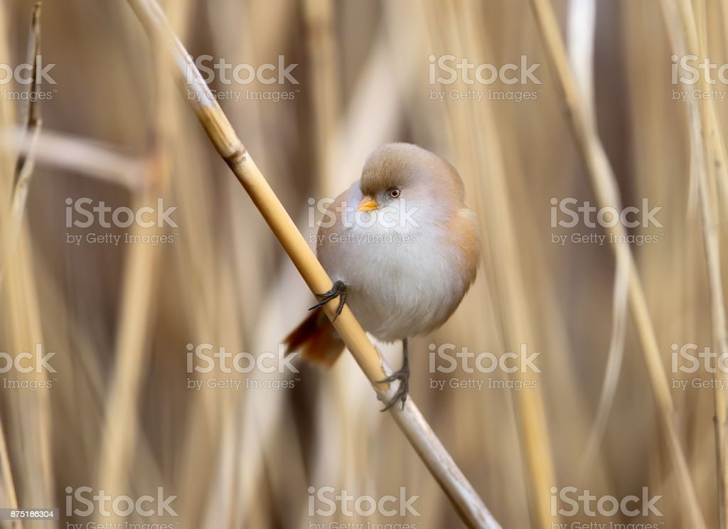 Close up photo of female bearded tit sits on the reed in natural habitat stock photo