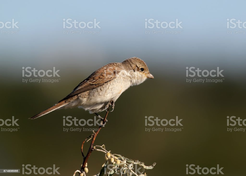 Close up photo of female red backed shrike on the branch isolated on blurry brown background stock photo