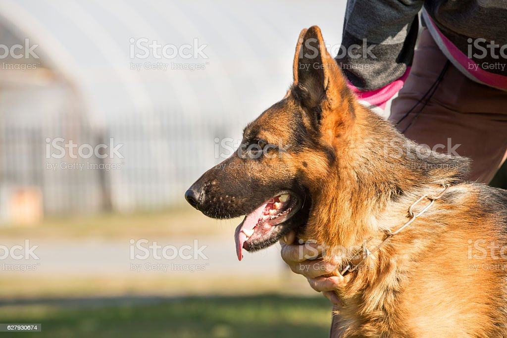 close up photo of german shepherd dog stock photo
