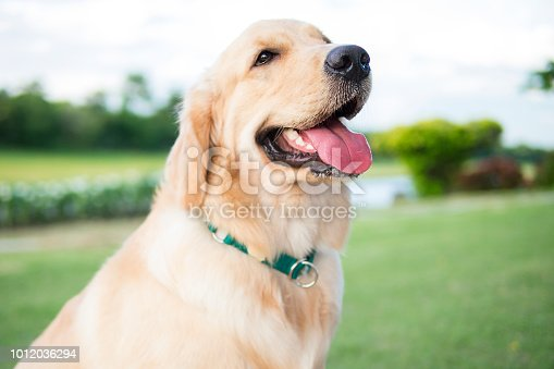Close up photo of Golden Retriever puppy with green collar sitting in the summer park.