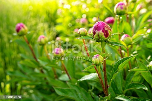 Close up photo of peony flower bud with water drops at sunlight after rain in garden. Natural floral background. Gardening, spring season, growth concept.