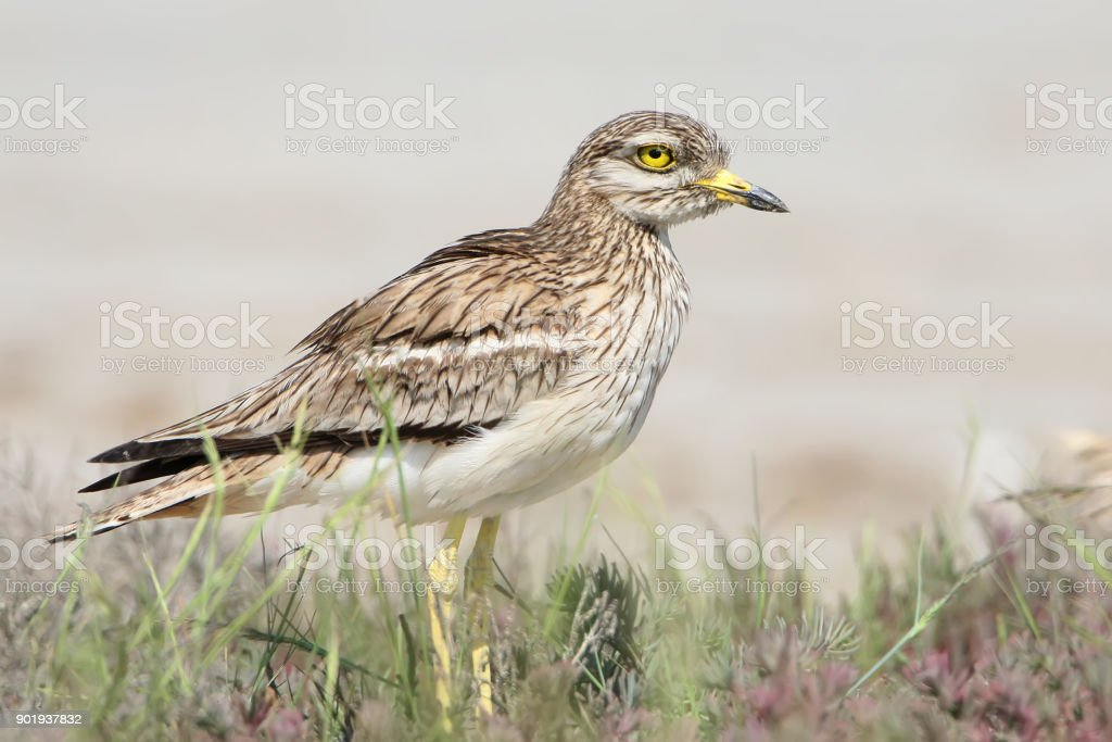 Close up photo of stone curlew in natural habitat stock photo