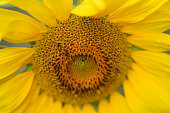 Close up photo of the centre of a sunflower with native bees feeding