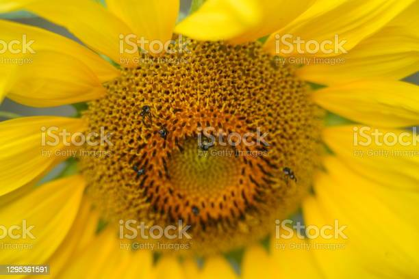 Photo of Close up photo of the centre of a sunflower with native bees feeding