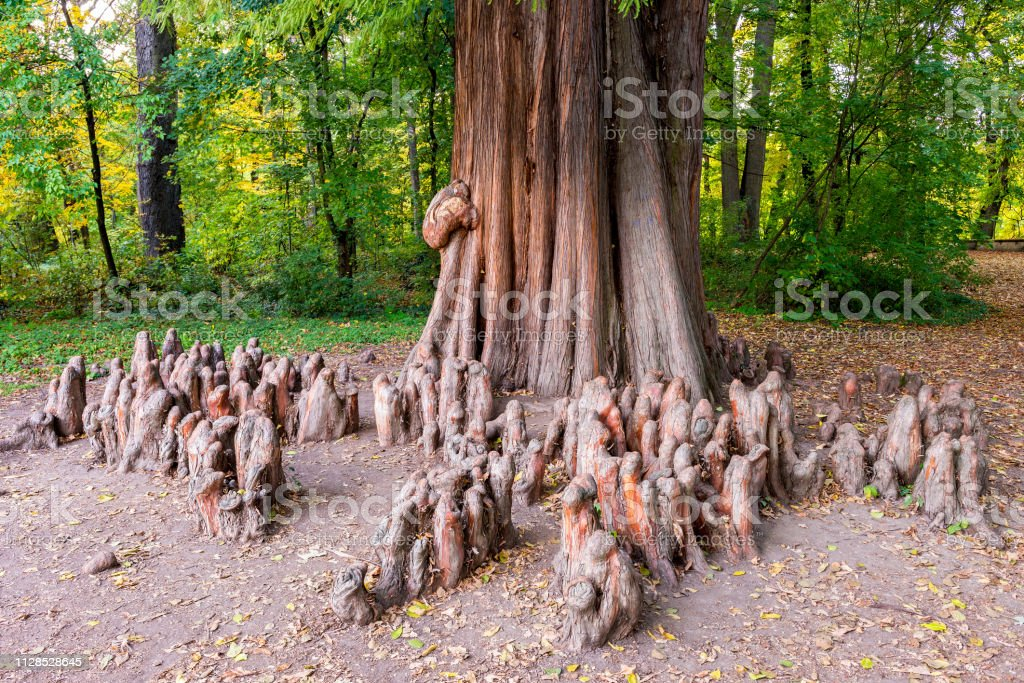 Close up photo of the knees and the trunk of a bald cypress (Taxodium distichum) stock photo